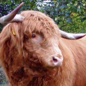 Rinder 2